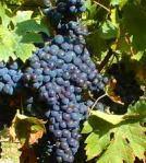 Alpujarran Tempranillo grapes