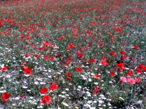 Poppies in Berchules, Alpujarras